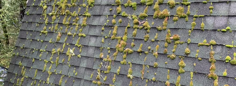 Roof in need of maintenance is shown with a moss covered roof causing roof failure in Capitola Ca