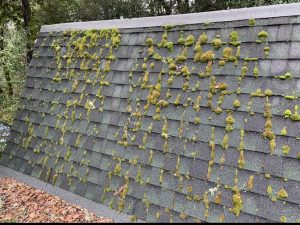 Our roofing company found this example where moss had been allowed to grow on this roof due to the harsh weather in Aptos California